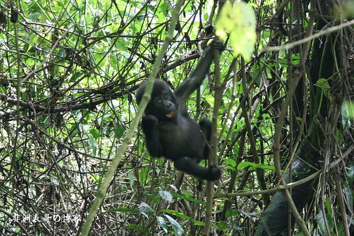 带你看非洲丛林大猩猩