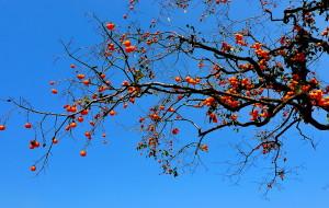 【临朐图片】临朐官护山漫山遍野柿子红叶格桑花