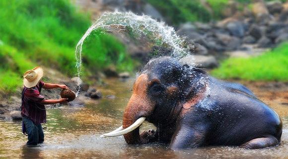 【A套餐】美旺大象营骑大象+喂大象+给大象洗澡半日游 上午的出发时间:07:00-07:30 返回 11:30-12:00 下午的出发时间:12:30-13:00 返回 16:30-17:00 *每天2个出发时间可选,建议选上午,下午的空位较少。 参考行程: 酒店大堂等候出发; 约1小时车程到达大象营后,专业驯象师将向您介绍大象的生活习惯。 骑大象穿越丛林,骑大象过河,骑行时间,约30-45分钟; 大象喂食:每人免费发一篮子香蕉亲手喂给大象,约20分钟; 大象洗澡:陪大象度过欢乐的沐浴时光,约20分钟。