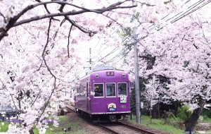 【京都图片】关西第一眼樱花:漫步京都 花落奈良小鹿  樱花七日 如同一场粉色的梦。