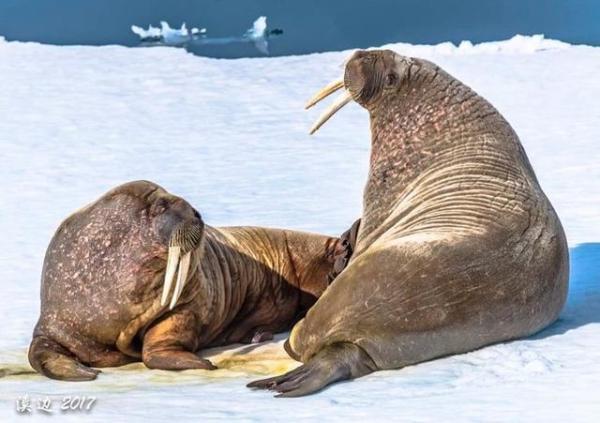 去北极看风景和罕见野生动物植物的独特风采  长牙是海象攀登浮冰或