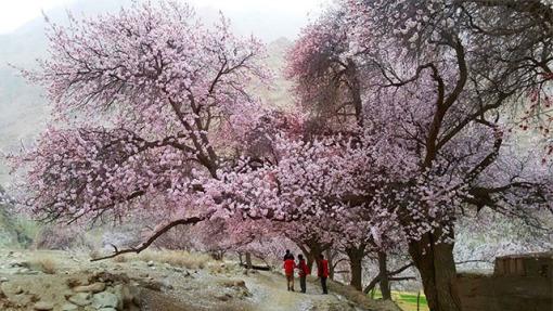 帕米尔高原杏花