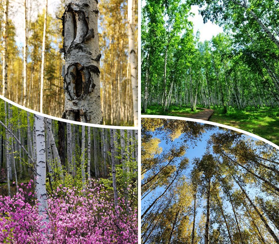 桦甸市白桦林里的凉亭美景