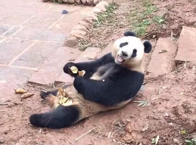每天上午呢帮助饲养员师傅打扫熊猫的小窝,搬竹子和摔竹子,然后11点半