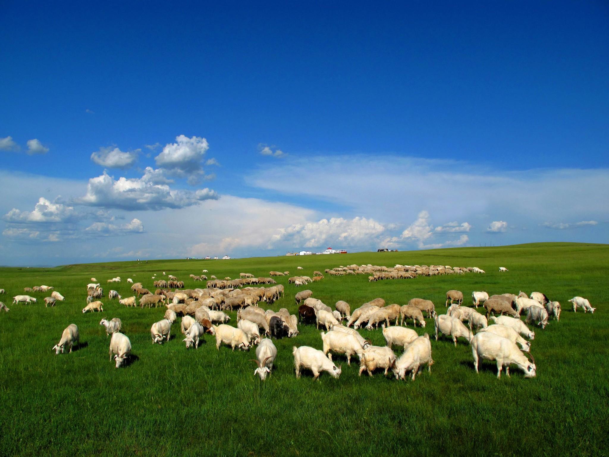 """蒙古包上升起缕缕炊烟;微风吹来,牧草飘动,处处""""风吹草低见牛羊"""""""