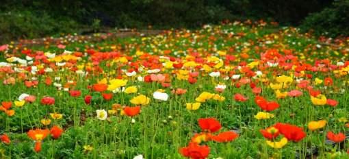 七色地�_春季正当赏花时,七色花洲充分利用洞庭湖湿地地形,引入百万郁金香