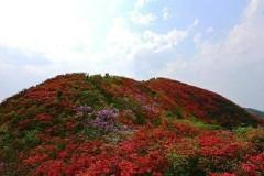 """五月最美""""网红"""",依然是婺源那片惊艳撩人的杜鹃花海!"""