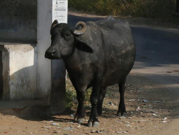 印度最神圣的动物是牛,满大街都是牛.