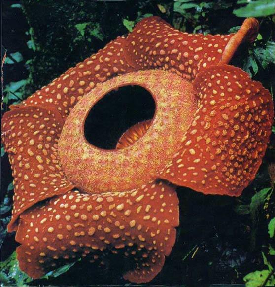 全世界最大的花 马来西亚的莱佛士花