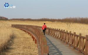 【崇明岛图片】撒欢芦苇荡,置身天然氧仓 『 2013新春,崇明岛-东滩湿地 』