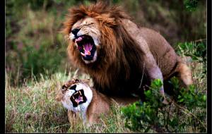 【马赛马拉国家公园图片】动物天堂肯尼亚之二------马赛马拉