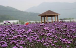 【苍南图片】因为爱,我曾出发紫色浪漫--马鞭草。  苍南