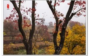 【孝感图片】湖北大悟红叶