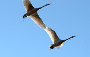 【三门峡图片】天鹅湖畔看天鹅