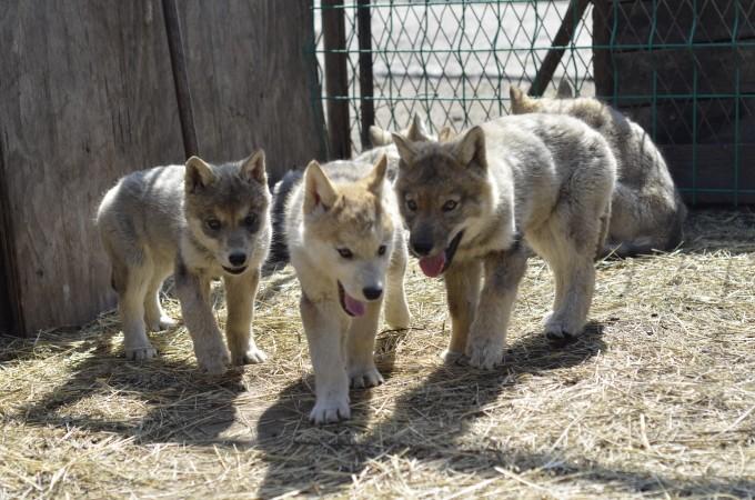 呆萌可爱的小狼,你好啊 你们这是在抢镜头吗 给狼做的专题,你来干