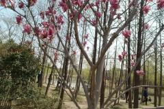 #游记小赛# 顾村看樱花
