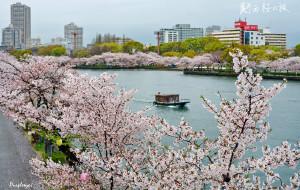 【关西图片】在关西淋雨赏樱的日子-4月19日完结