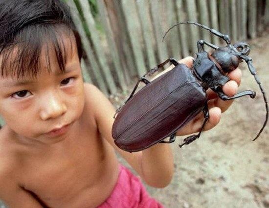 """地球最大昆虫""""泰坦大天牛"""" 能一口咬断铅笔"""