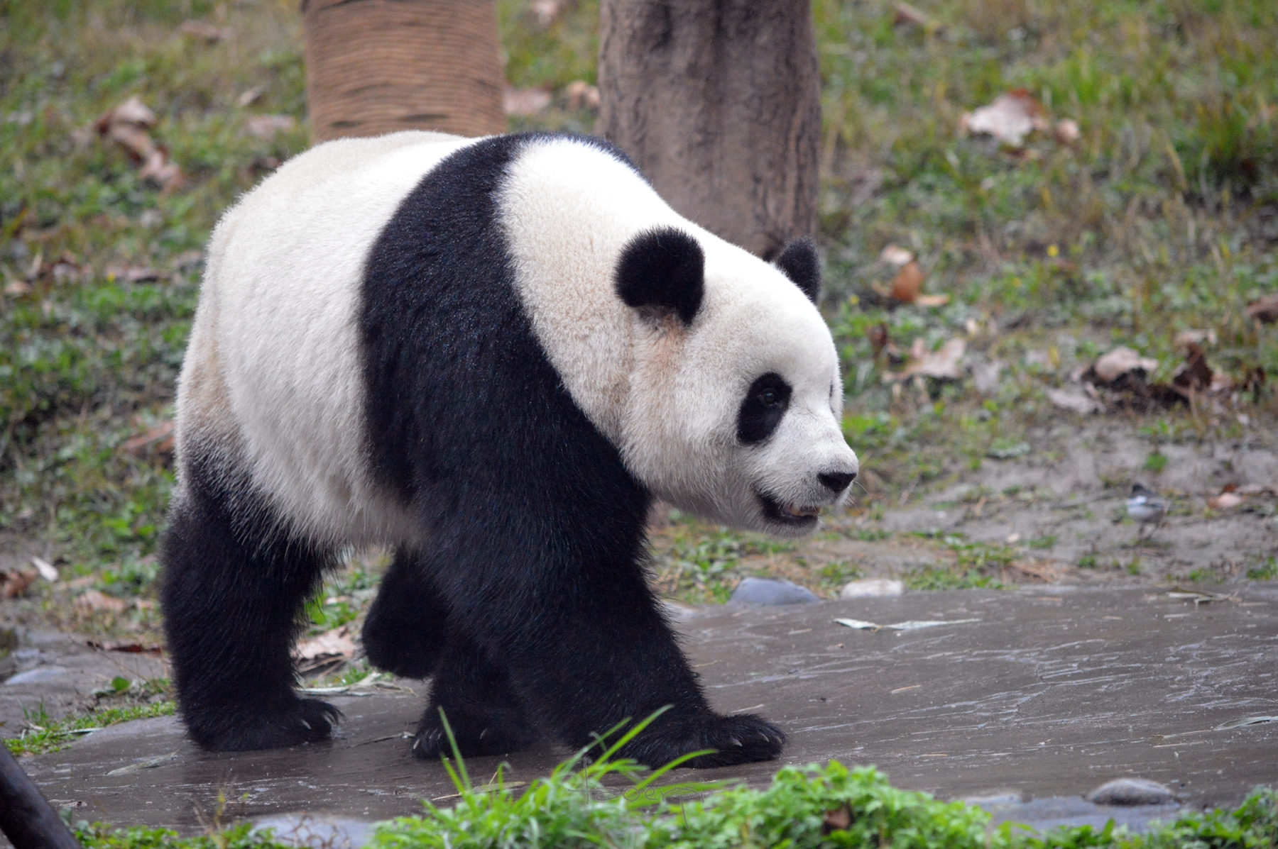 dujiangyan panda center